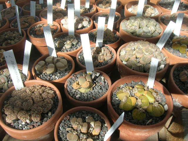 Temecula Cactus, Southern California
