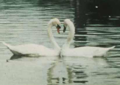 swans by Kathy Crabbe