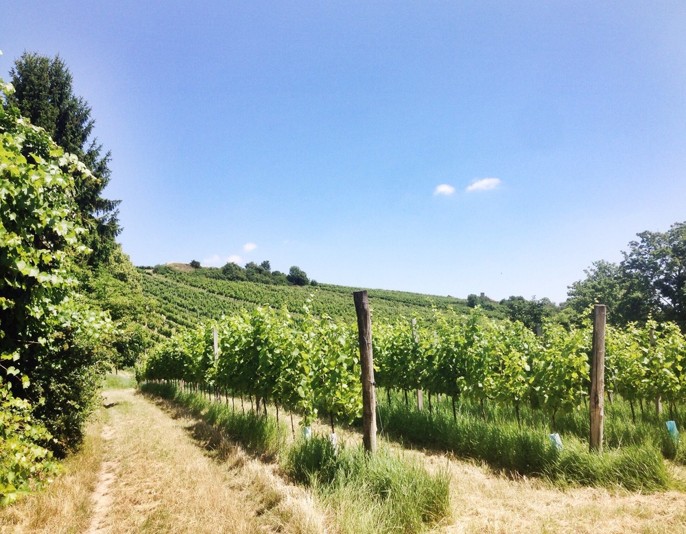 Vineyards in Grinzing