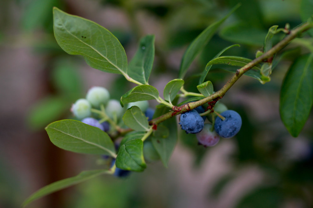 SequelPhotography-Blueberry(1of7).jpg