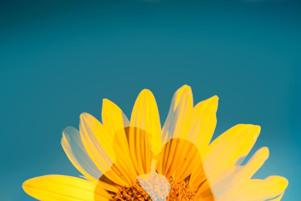 Alysia Jerad Sunflower Field Engagement-8.jpg