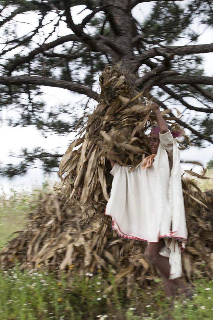 Toda la planta se aprovecha. En la sierra tarahumara, después de despuntar el maíz para que acaben de llenarse las mazorcas,, se acarrea el rastrojo con el fin de subirlo a los pinos para que los animales tengan forraje durante el invierno.