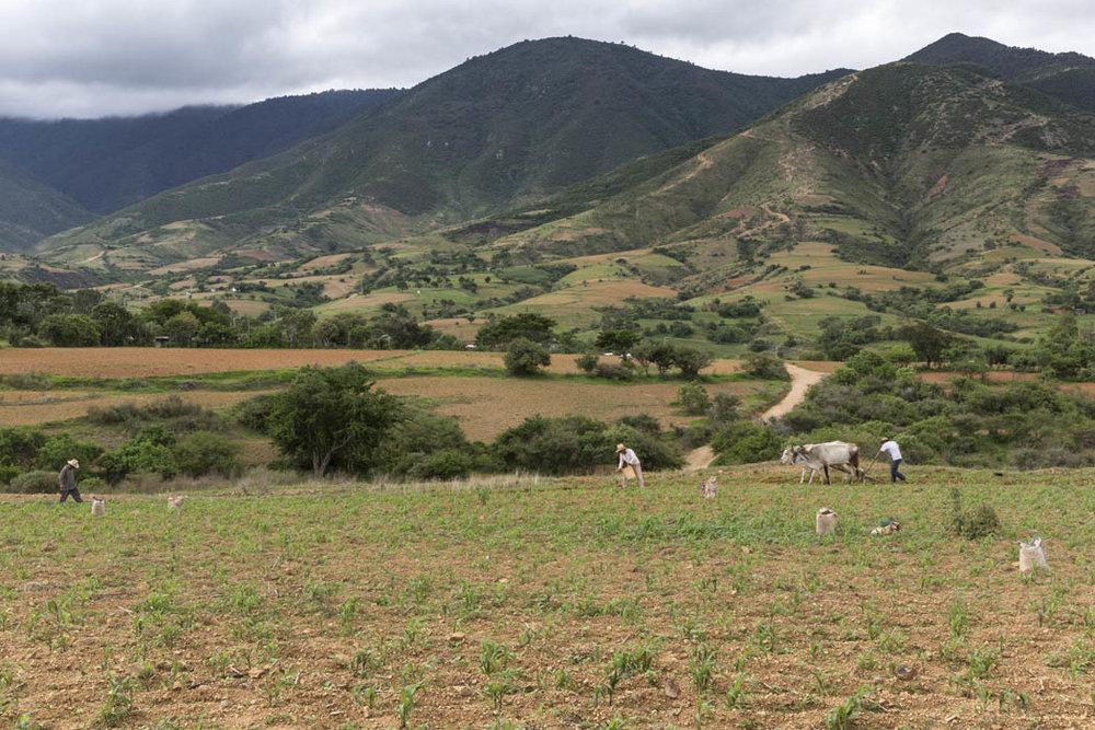 La gente sigue utilizando bueyes para arar, bueyes entrenados especialmente para obedecer las indicaciones en forma de sonidos, a la vez que otros agricultores van aplicando fertilizante orgánico a cada planta.