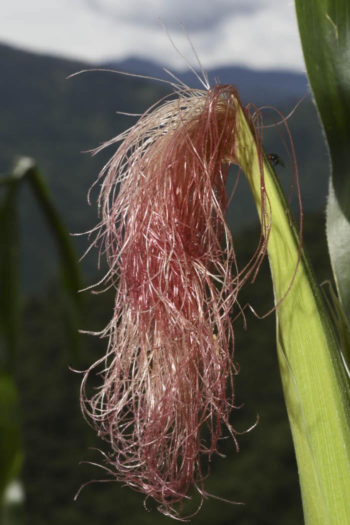 La flor femenina del maíz es una verdadera belleza. Cada pelito lleva la información genética contenida en el pólen a un granito de maíz, además, tiene propiedades curativas cuando se seca.