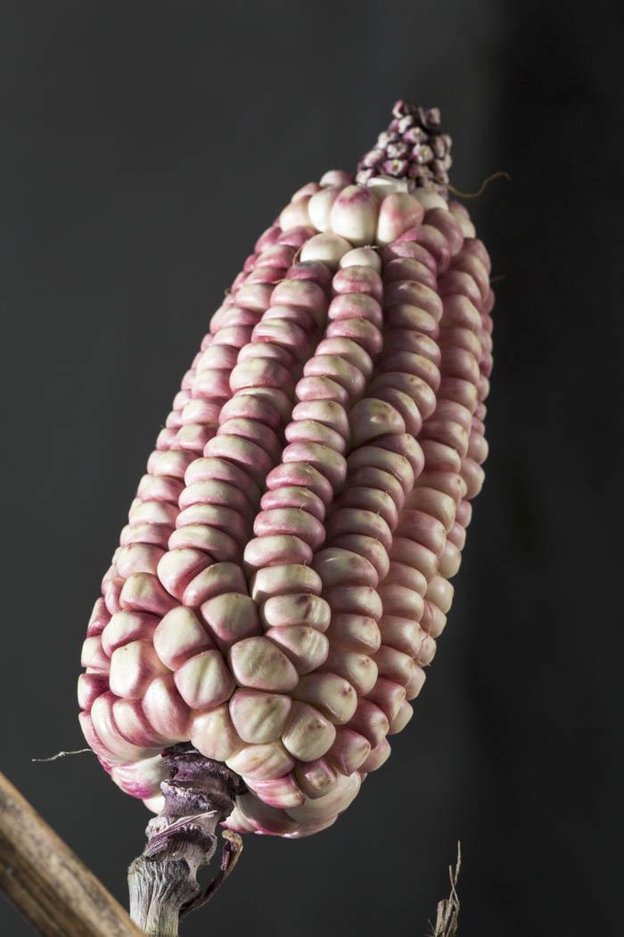 Un cacahuatzintle de los campos de Ixtenco.