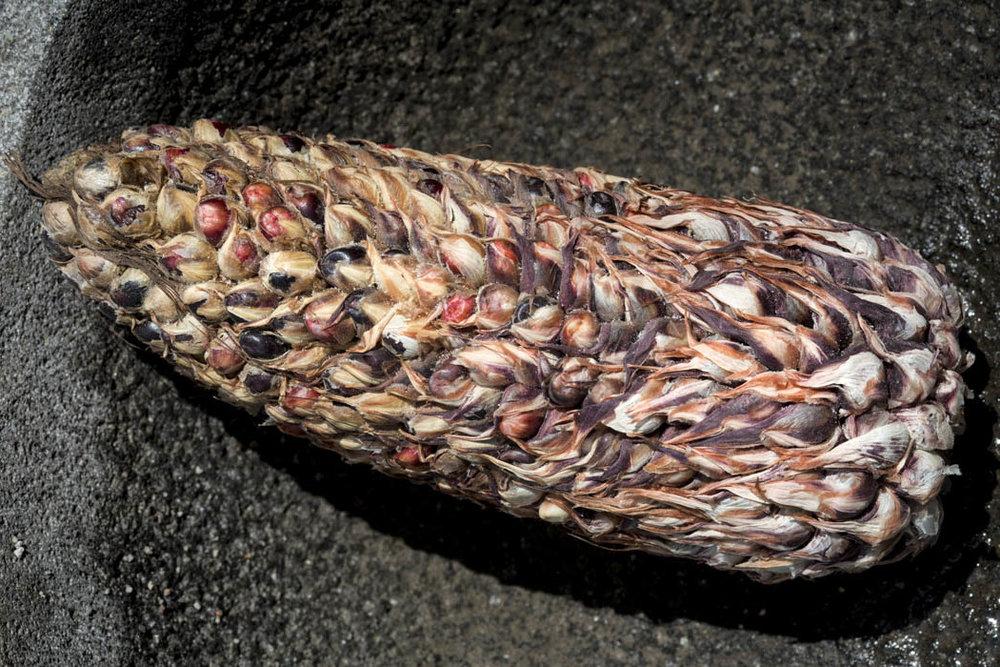 El maíz ajo, cada granito tiene su cobijita, su envoltura.