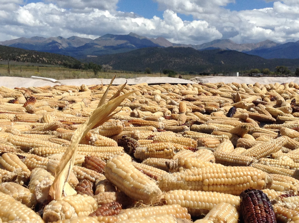 Chicos del horno, an heirloom white flint that has been roasted overnight in adobe ovens, is laid under the sun to dry. This native land race corn is cultivated by Chicana/o acequia farmers at an elevation of about 8,000 ft. above sea level in southern Colorado, in the headwaters of the Rio Bravo del Norte (Rio Grande).