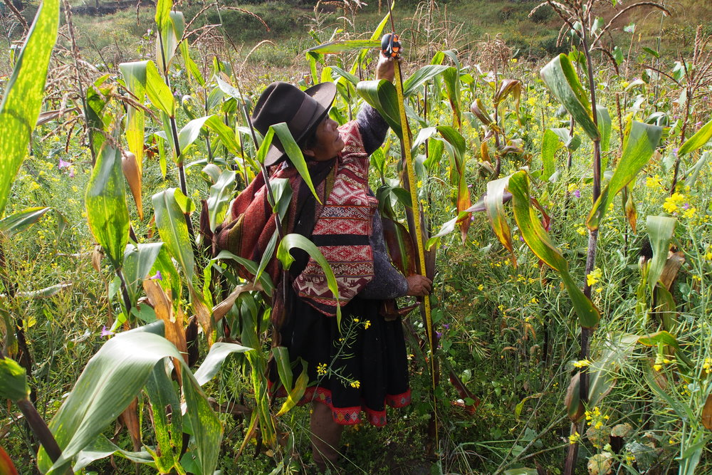"""We have been working with maize since the earliest of times.  We only use natural methods and fertilizers when we work with our crops. If we are late to sow, disease will damage what we have planted, but if we sow with enough time, we know we will have a good harvest. There has been so much change to the climate, and things are not how they used to be, so we always make sure to make an offering to Pachamama (Mother Earth)  and to drink the sacred chicha (beverage made from purple maize) to help us quench our thirst while we sow. We select our seeds in groups determining what will be best for trading, what our animals will consume, and what is best for our own nutrition. When we sow, the whole community participates, everyone helps to select the seeds, and then we organize the seeds into groups and sow according to the intended use of the seeds.  When we finally harvest, the men carry the maize to the storage house where the women manage the maize according to the different needs we have. In Cacchin we have around 10 different varieties. When the days get closer to our sowing time, we look to the stars and the moon for help. When the moon turns a reddish colour, this means the harvest will not be bountiful, but if the moon is a white colour, then will have success. Through the year we make offerings to Pachamama, and when the harvest is abundant, we make an offering with the very best maize cobs. Many of the practices we take part in we have learned from our parents, especially when it is traditional knowledge; we keep passing this down to our own children. Our community sustains itself off maize, because it is maize that provides us with food and income, in this way, maize is to us like our mother and our father. It also allows us to participate in the barter market, and through the market we can trade for different foods, like fruits and vegetables, and other things we cannot find in our community. With maize, we can prepare soups, make mote (rehydrated kernels), cancha (popped corn), chicha, and also make flour and torrejas (frittata)."" - Carolina Silvia Loaiza"