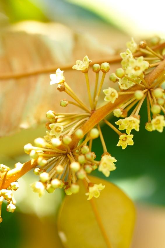 Durian_Jardin du roi_DSC_2399.jpg