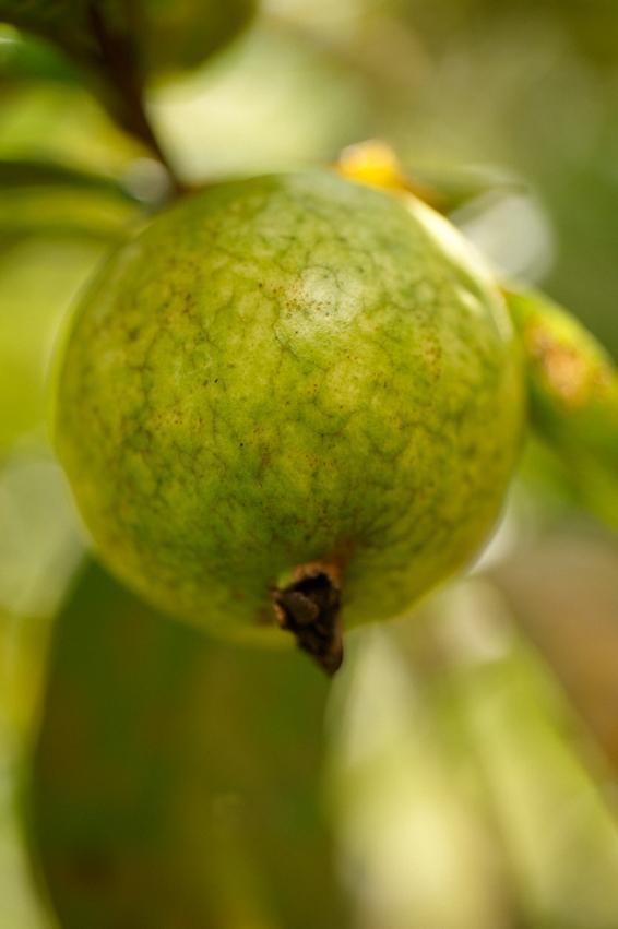 Guave Jardin du roi_DSC_2282.jpg