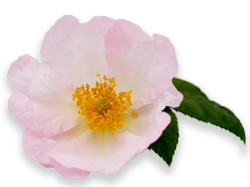 Rosa x richardii 'Sancta' on yksi kirjan kymmenestä ruususta