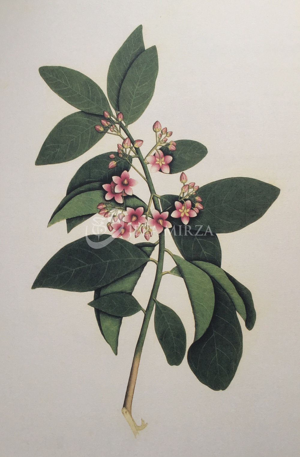 "1. Image from ""Fifty-One Flowers, Botanical Watercolours from Bengal"""