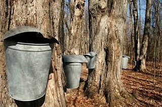What are the impacts of climate change on maple sugar production? Discussion today at UMass Amherst and simultaneous online webinar. Webinar link in bio! #climatechange #maplesugar #sugaring #farming #newenglandmaple