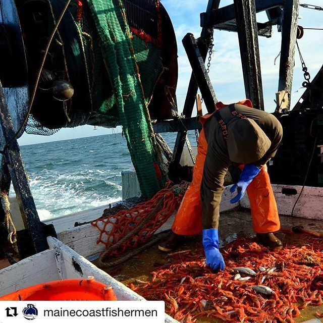 Thankful for this update from @mainecoastfishermen about Maine Shrimp supplies and climate change. Not great news. Please support local fisheries however you can and advocate to improve the health of New England waters. #maineshrimp #commercialfishing #northernshrimp #climatechange #worktogether ・・・ This week, the Atlantic States Marine Fisheries Commission voted to extend the moratorium on Northern shrimp for another year after the stock assessment came back with more bad news. The warming waters of the Gulf of Maine were cited as a significant contributing factor to the shrimps' inability to rebuild. This is a major blow for Maine fishermen who have relied on shrimp as a source of income over the cold winter months.