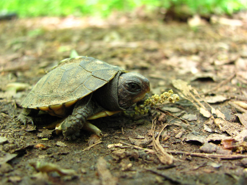 "This little guy was recently found on Ruffner Mountain. Box turtles are quite common at Ruffner, as they are over much of North America. The Eastern Box Turtle ( Terrapene carolina carolina ), pictured here, and the three-toed box turtle, are the two most common subspecies of box turtle in Alabama. They have a dome-like carapace and a hinged plastron (that's the shell covering the belly) which allows for complete enclosure, creating a sort of closed box, hence the name ""box"" turtle. Box turtles usually live extremely long lives, and they are slow to develop; this fact, coupled with their propensity for few offspring, make box turtles particularly susceptible to human-induced mortality. So, the next time you're on the trail or the road, look out for our reptile friends!"