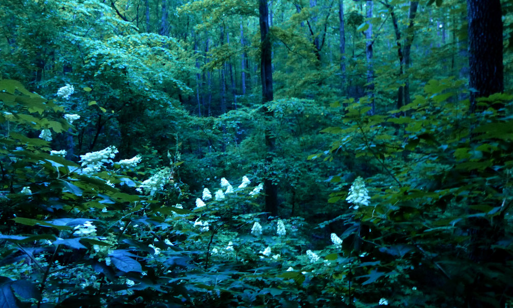The oak-leaf hydrangea (Hydrangea quercifolia Bartr.) is the official State Wildflower of Alabama, and you can see why. Their pearl-white blooms almost seem to glow beneath the forest canopy. This deciduous shrub can be found in every part of the state, from the coastal plains to the Appalachian foothills to the north (at Ruffner, for example!), and deep within deciduous forests to landscaped lawns and home gardens. The striking white flowers turn a deep rose in summer and even deeper in color to burgundy in the fall.