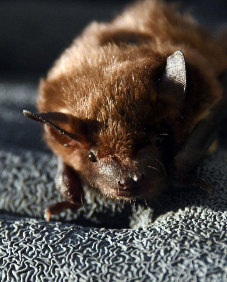 Bat Blitz IX.JPG