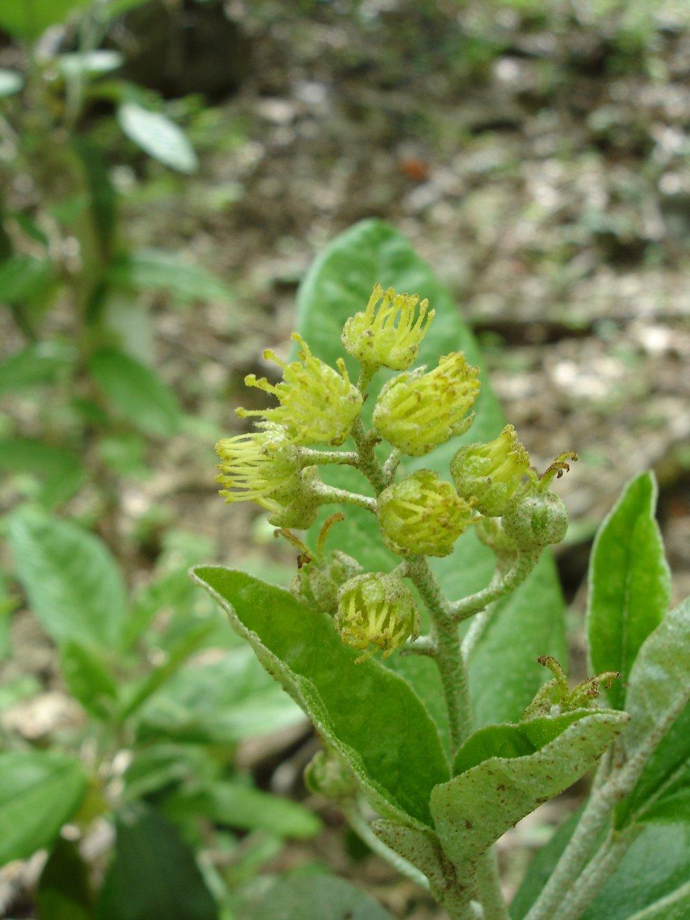 Alabama Croton (Croton alabamensis)