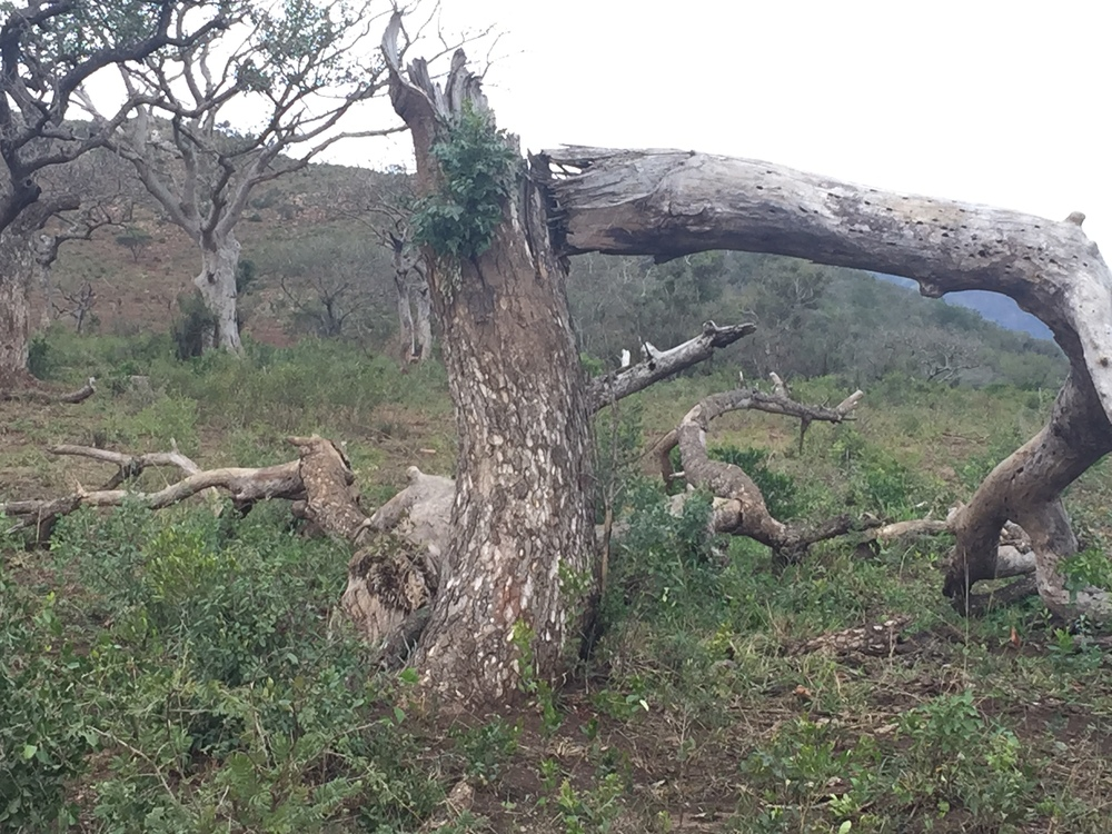 The Marulo Tree has been pushed over by an elephant.  Resilience is in the new growth.