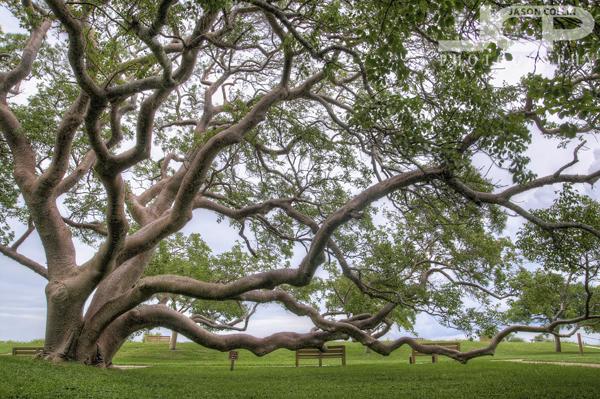 gumbo-limbo-tree-largest-de-soto-nationa