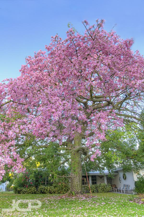 Snell Isle Series - 04 - Silk Floss Tree in full bloom ...