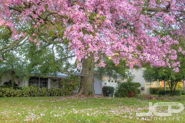 Snell isle series 04 silk floss tree in full bloom jason the silk floss tree on cordova has a great canopy nikon d300 5 bracket mightylinksfo