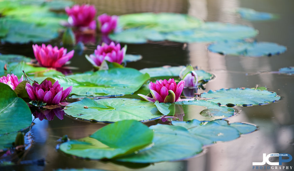 In June you can photograph lily pad flowers during a photography lesson in Albuquerque, New Mexico