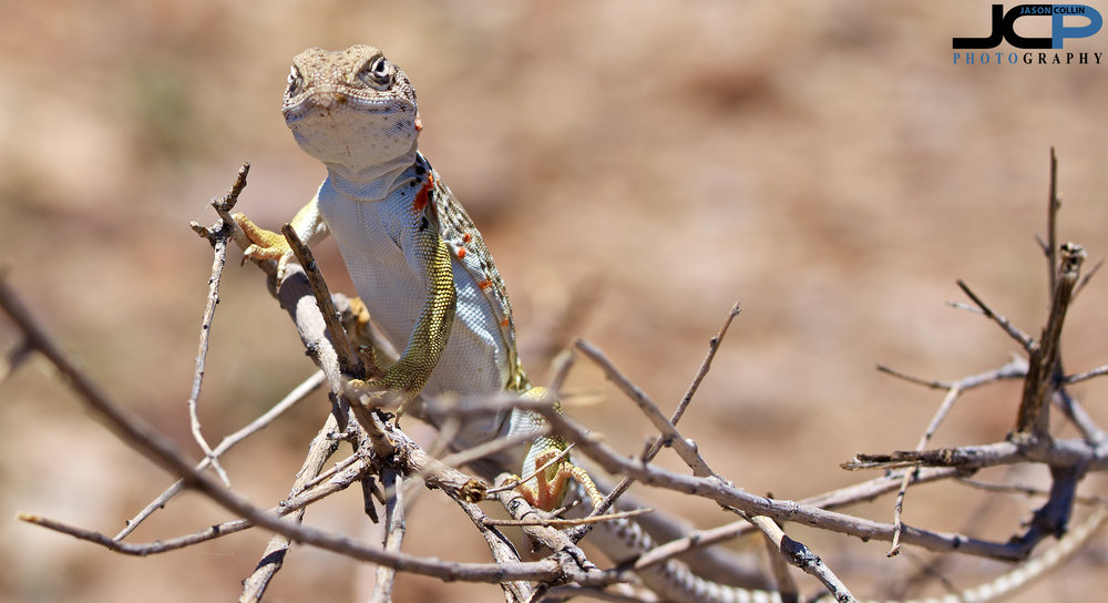 New Mexico Whiptail Lizard who did not mind having its photo taken at all!