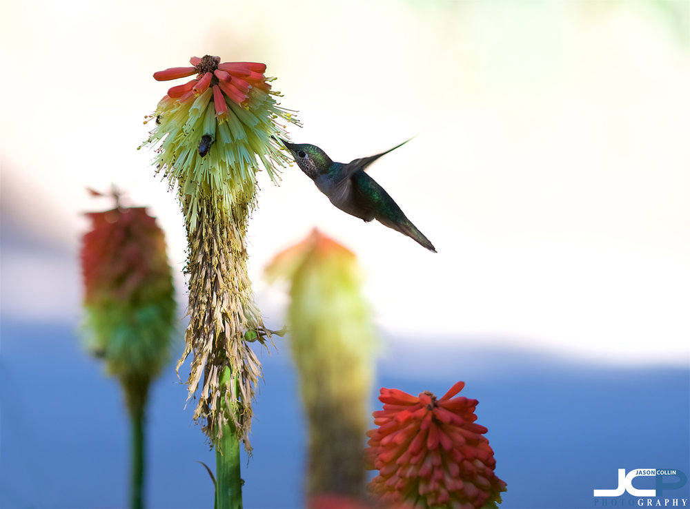 Using the Tamron 90mm f/2.8 Macro SP lens to capture this hummingbird sharing a flower in New Mexico.