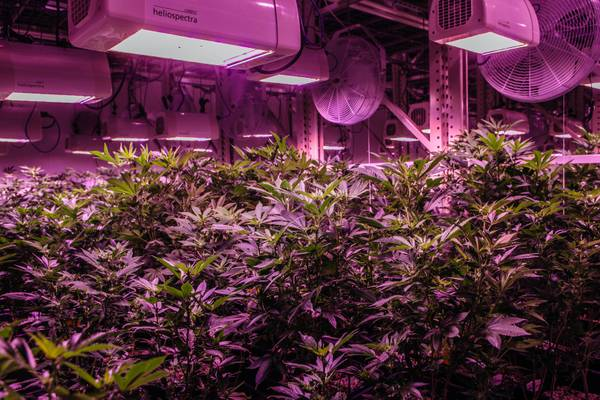 The LED lamps give the marijuana cultivation facilities a purple glow at The Grove, Tuesday, Aug. 16, 2016.
