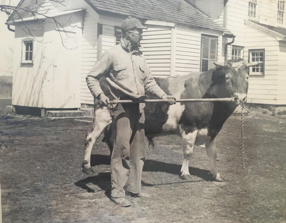 Gurden leading a bull.