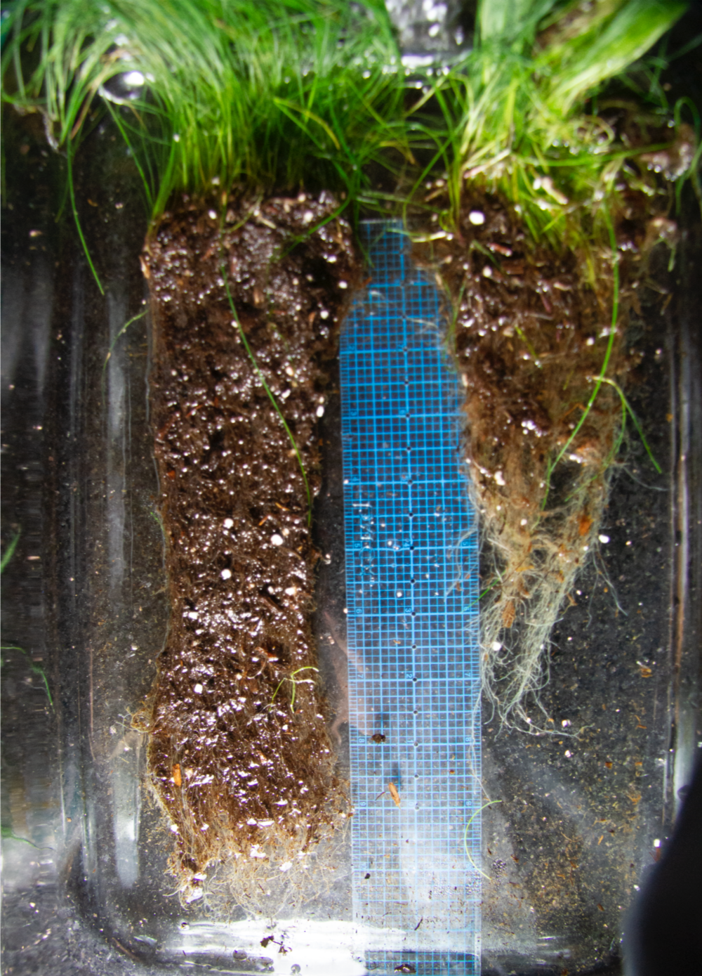 LiveTurf™ vs Control Results - This is an example of LiveTurf™ treated grass on the left growing significantly longer and denser roots allowing it to better withstand the heat of the season through increased water and nutrient uptake.