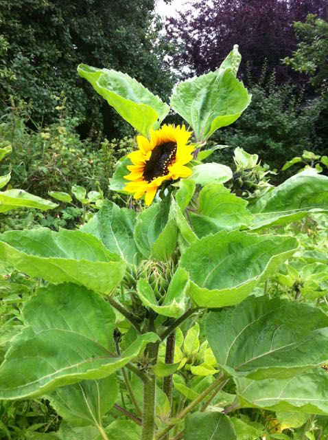 "1st bloom ""Prado Yellow"" sunflower in Clonmore, County Carlow, 8/16"