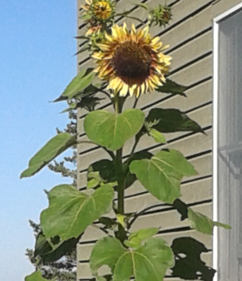 Maine sunflower, 8/16