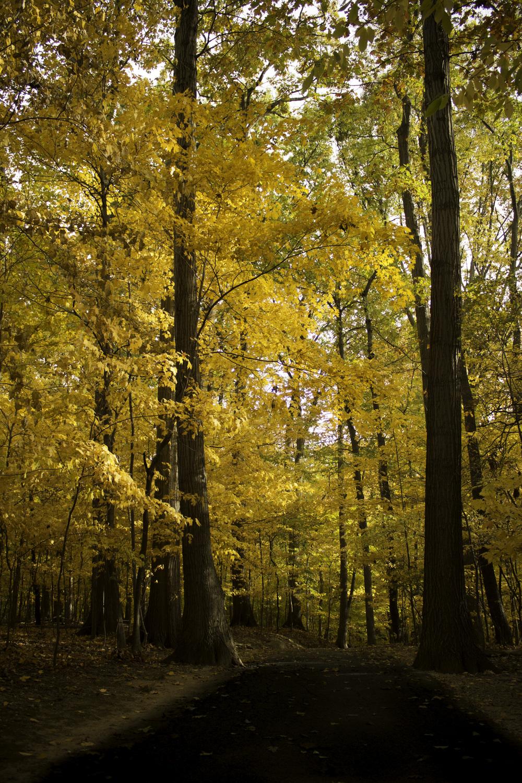 Maliqi.metroparks.parma.yellowtrees.jpg