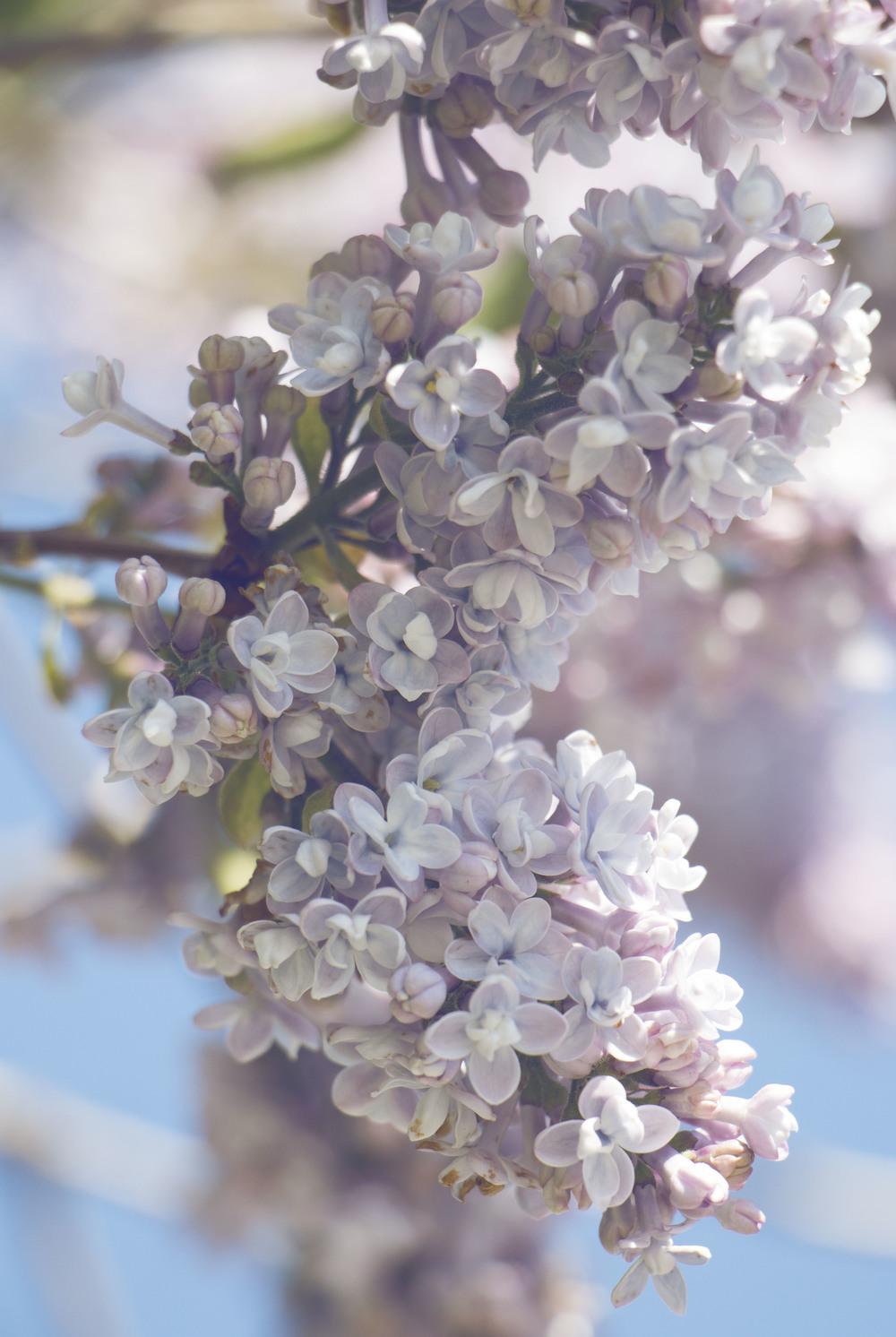 maliqi.flowers.1.jpg