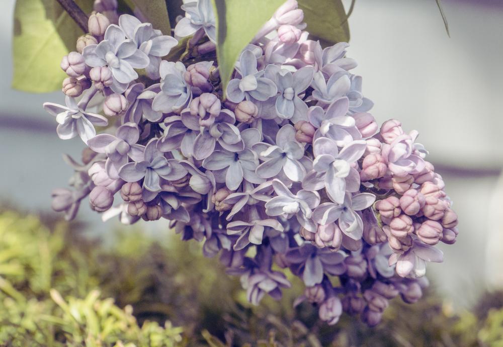 maliqi.flowers.closeup.magenta.jpg