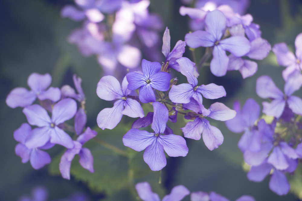 maliqi.flowers.3.jpg