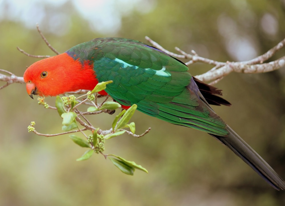 Hear the King parrots in the canopy