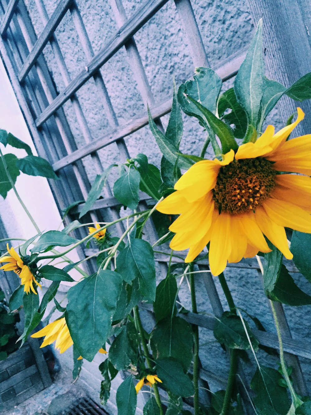Beautiful Sunflowers in Berlin