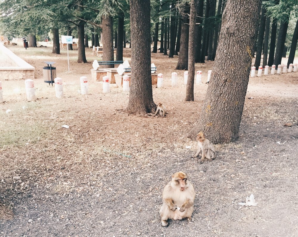 Barbary Apes in Azrou
