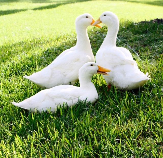 Our friendly pekin ducks.
