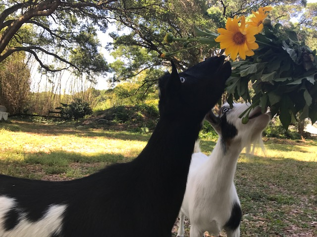 Mable & Ollie enjoying farm picked Mexican Sunflowers.