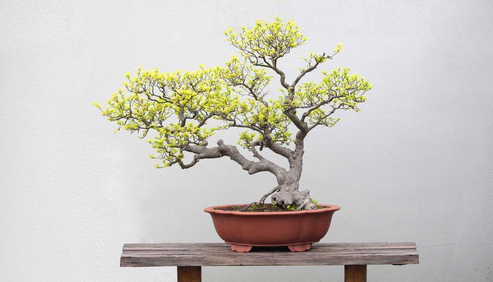 seven hats bonsai