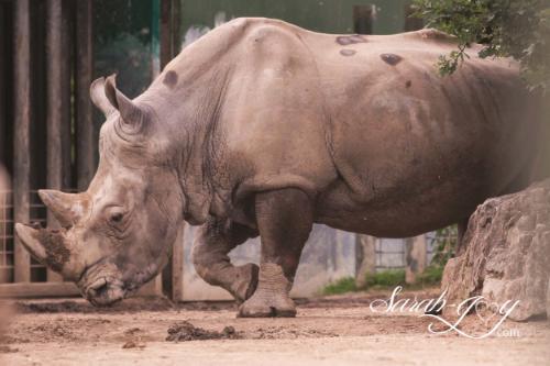Rhinoceros (Southern White)