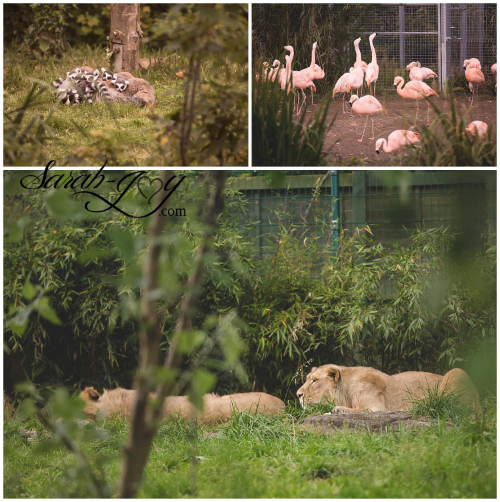 Lions,Lemurs and Flamingos, oh my!