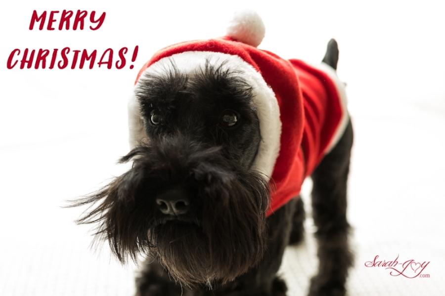 melbourne schnauzer dog in a santa hat