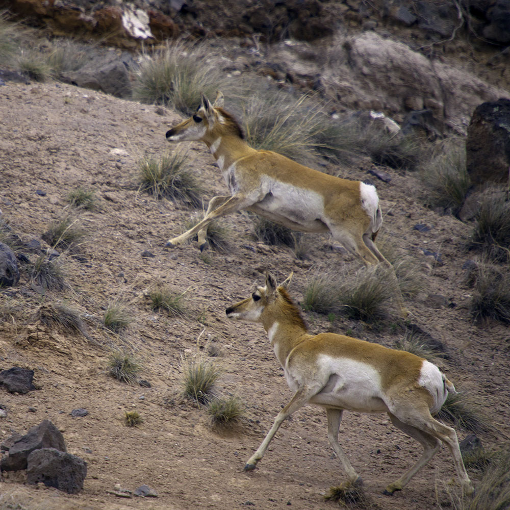Pronghorn Antelope outside Zion