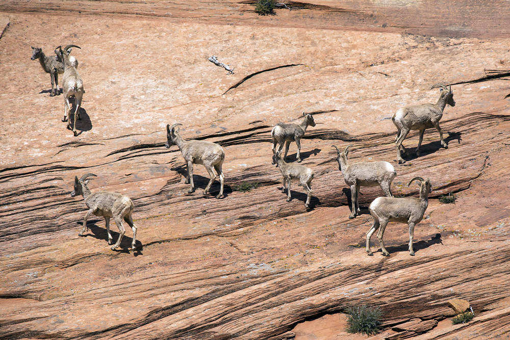 Big Horned Sheep, Zion