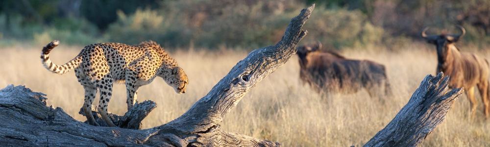 leopardandwildebeest.jpg